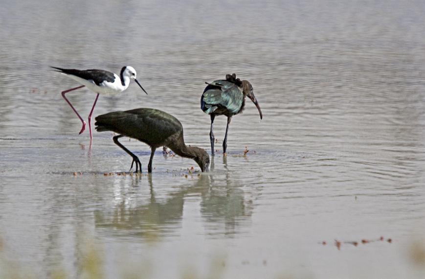 Glossy Ibis and Black winged stilt_judy