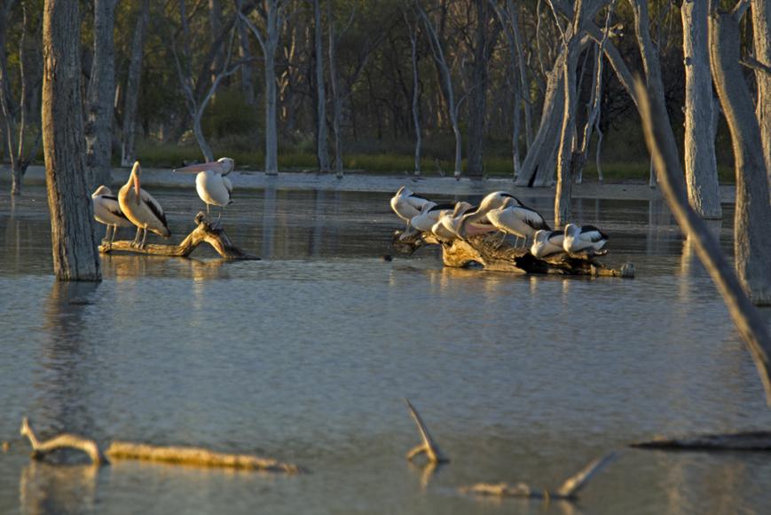 pelicans_judy
