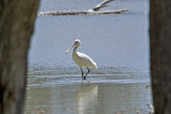 Yellowbiled spoonbill_judy